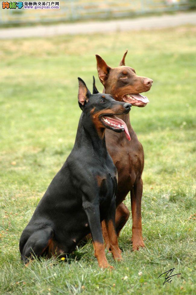 正规狗场犬舍直销杜宾犬幼犬签订协议包细小犬瘟热