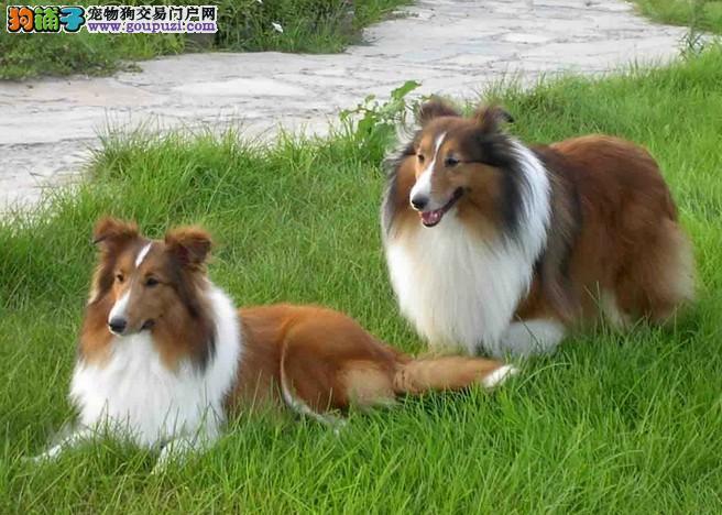 高品质喜乐蒂幼犬,国际血统品相好,签订终身合同