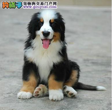 朝阳家养赛级伯恩山宝宝品质纯正签订协议包细小犬瘟热