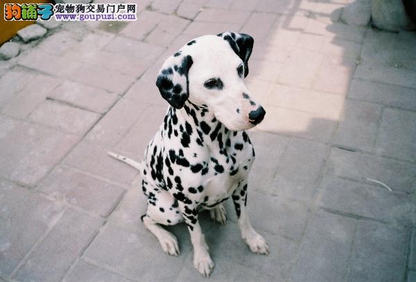 CKU犬舍认证南通出售纯种斑点狗赠送全套宠物用品