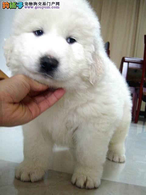 出售纯种大白熊 包健康 热情友善 特别讨人喜欢