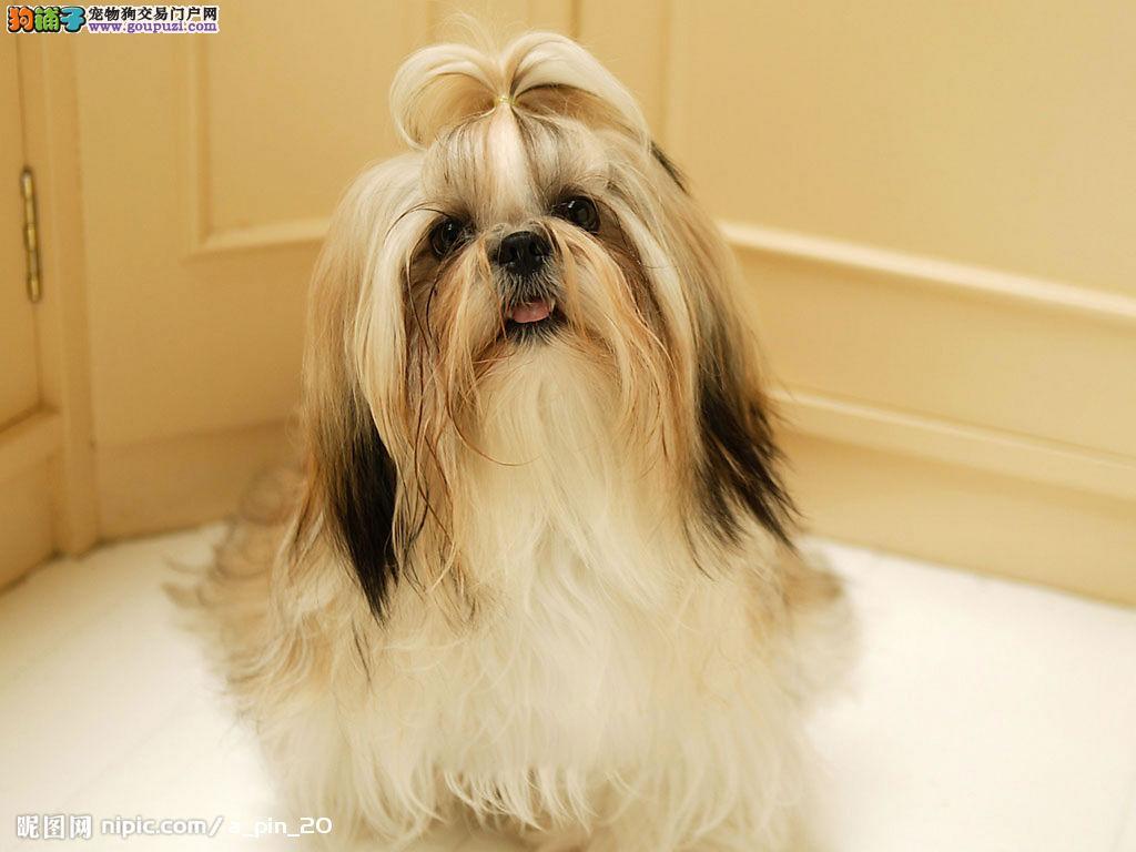 长春热销西施犬颜色齐全可见父母微信咨询看狗狗照片