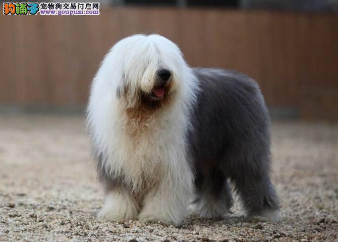 CKU认证犬舍 专业繁殖古代牧羊犬 种犬都有血统证