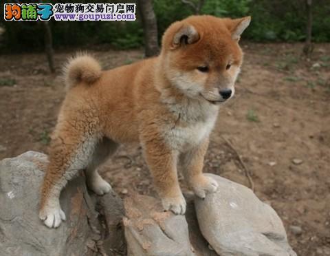 柴犬出售 日本纯正血统 忠犬八公,可见爸妈
