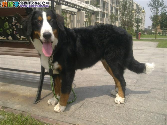 高品质伯恩山犬,2到4个月幼犬,