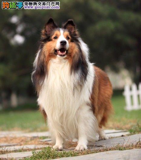 多种颜色的昆明喜乐蒂找爸爸妈妈欢迎爱狗人士上门选购