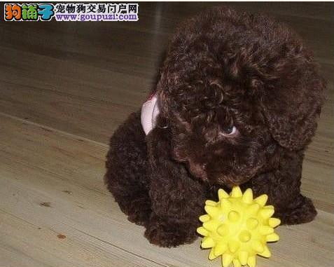 自家养殖纯种茶杯犬低价出售看父母照片喜欢加微信