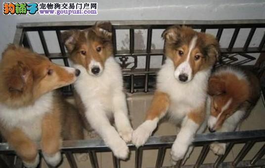 苏格兰牧羊犬 出售纯种苏牧幼犬 疫苗做奇 终生质保