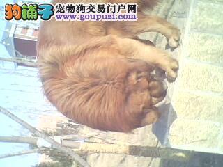 藏獒/有血统的藏獒,名字叫天龙,天宇的直子[两年多公狗]