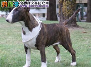 国际注册犬舍 出售极品赛级牛头梗幼犬保证冠军级血统