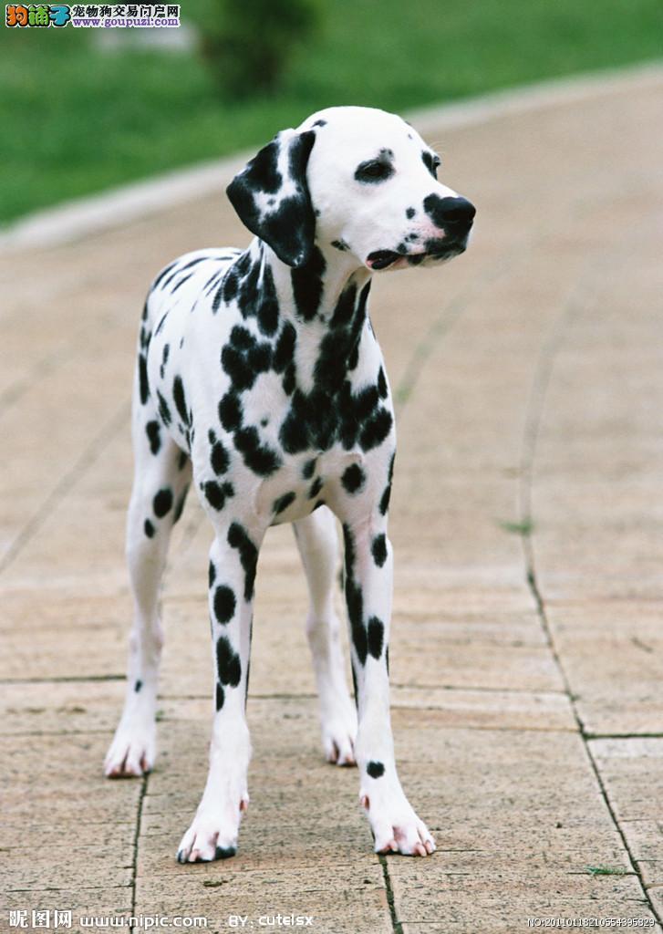 纯种斑点狗宝宝南京地区找主人微信看狗可见父母