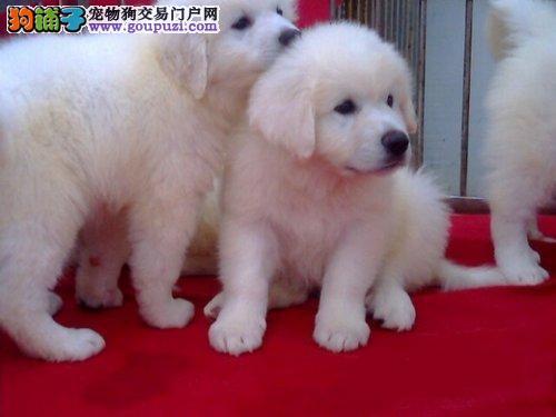 CKU认证犬业专业繁殖大白熊宝宝—绝对信誉