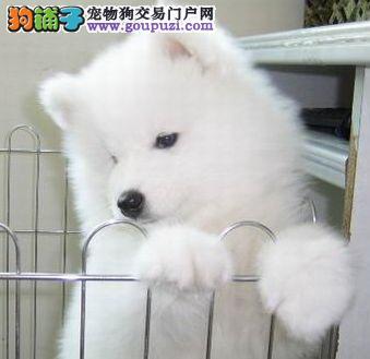 出售纯种健康的乌兰察布银狐犬幼犬喜欢加微信可签署协议