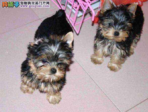 出售高品质贵族约克夏犬三个月质保一年