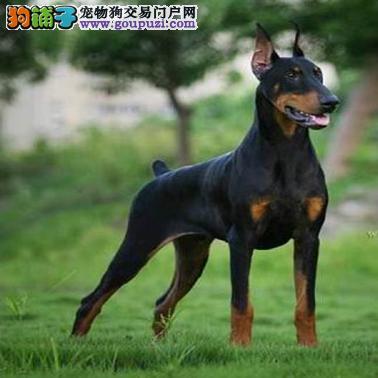 出售德系肌肉发达杜宾幼犬,线条漂亮,健壮有力。