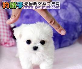 火爆出售血统纯正的哈尔滨茶杯犬保证冠军级血统