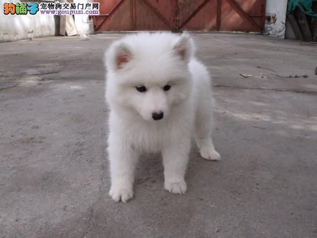 深圳哪里有卖纯种银狐犬出售 金威犬舍