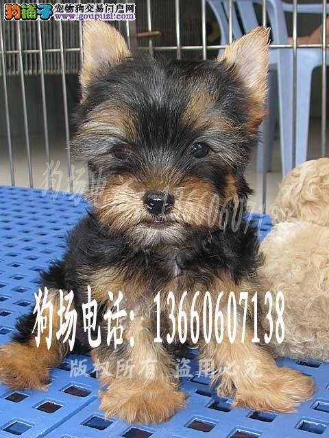 广东大型养狗基地 约克夏犬