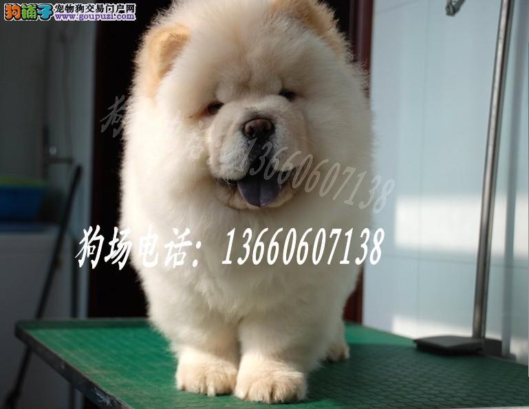 广东大型养狗基地 松狮犬