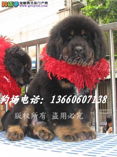 广东大型养狗基地 藏獒 广州哪里有卖藏獒犬