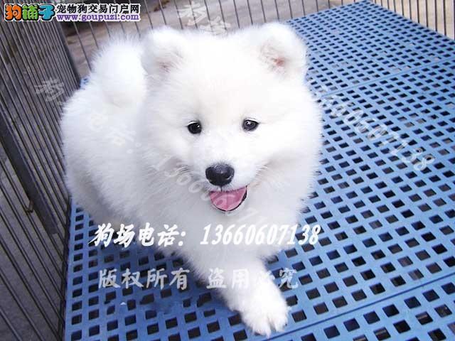 广东大型养狗基地 萨摩耶 广州萨摩耶哪里有卖呢?