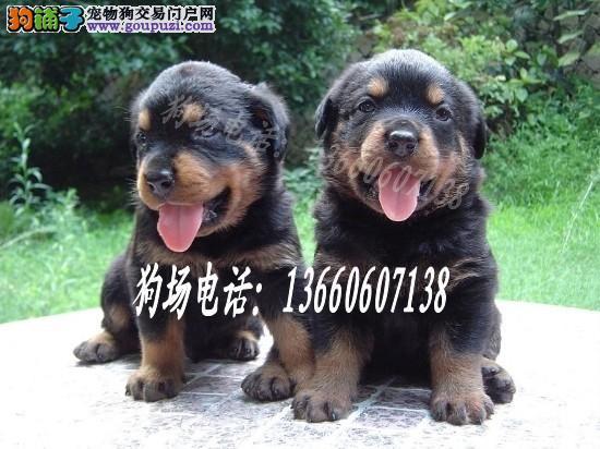 广东大型养狗基地 罗威拿犬