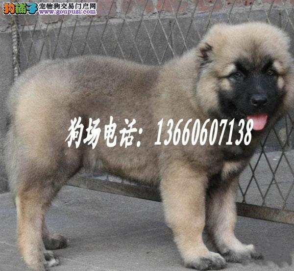 广东大型养狗基地 高加索 广州哪里有顶级高加索买卖