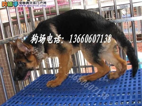 广州哪里有德国牧羊犬卖 广州哪里有狗卖