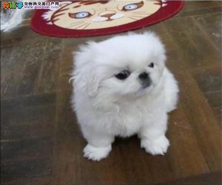 实体店低价促销赛级京巴幼犬微信视频看狗