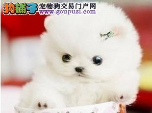 茶杯犬在杭州哪里可以买到杭州出售长不大的日本袖珍狗