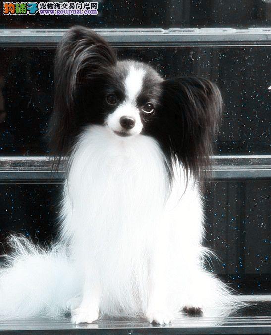 大型专业培育蝴蝶犬幼犬包健康保障品质售后