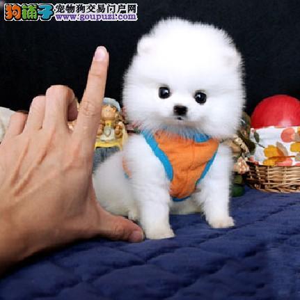 顶级 博美犬。让顾客买的优惠放心和纯种。