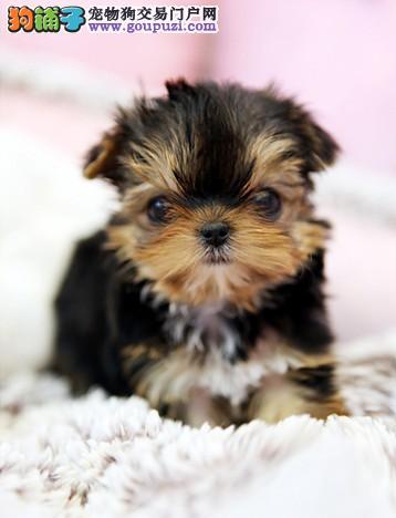 极品约克夏幼犬,CKU认证血统纯正,三年质保协议