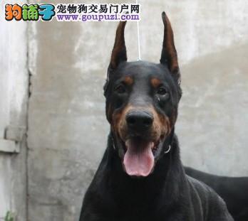多种颜色的三亚杜宾犬找爸爸妈妈提供护养指导