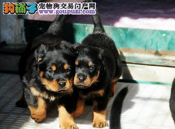 罗威纳专业养殖基地 顶级幼犬待售中 签协议