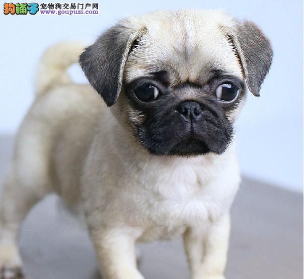 基地繁殖纯种健康可爱性格开朗的巴哥幼犬宝宝咯