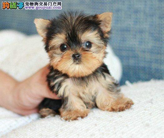 精品约克夏—名品名优保质保健康—可视频可上门看狗