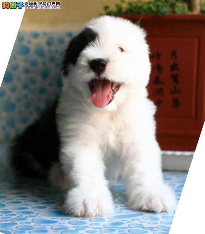 出售郑州古代牧羊犬健康养殖疫苗齐全请您放心选购