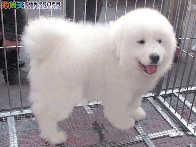 专业养殖基地出售纯正血统大白熊幼犬