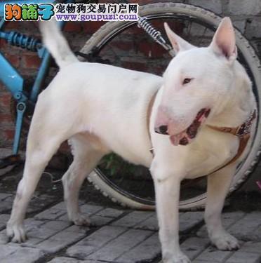 权威机构认证犬舍 专业培育牛头梗幼犬欢迎您的指导