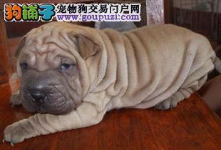 兰州出售沙皮狗幼犬品质好有保障血统证书芯片齐全
