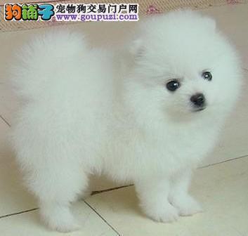 纯种博美幼犬出售 可接受预定