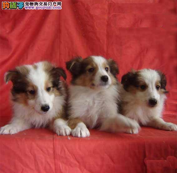 犬舍出售纯种苏格兰牧羊犬,签订协议健康质保