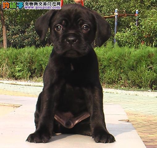 卡斯罗犬绵阳最大的正规犬舍完美售后全国当天发货