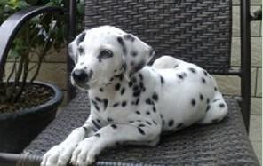 赛级品相南京斑点狗幼犬低价出售质保三年支持送货上门