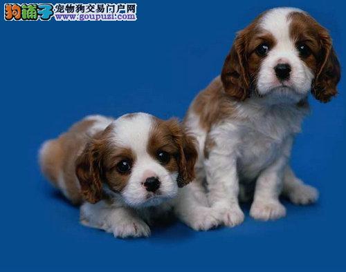 AC联保出售纯种健康美卡英卡幼犬,可签质保协议