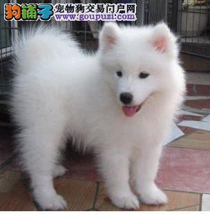 毛色雪白 纯种健康日本银狐宝宝 健康有保证