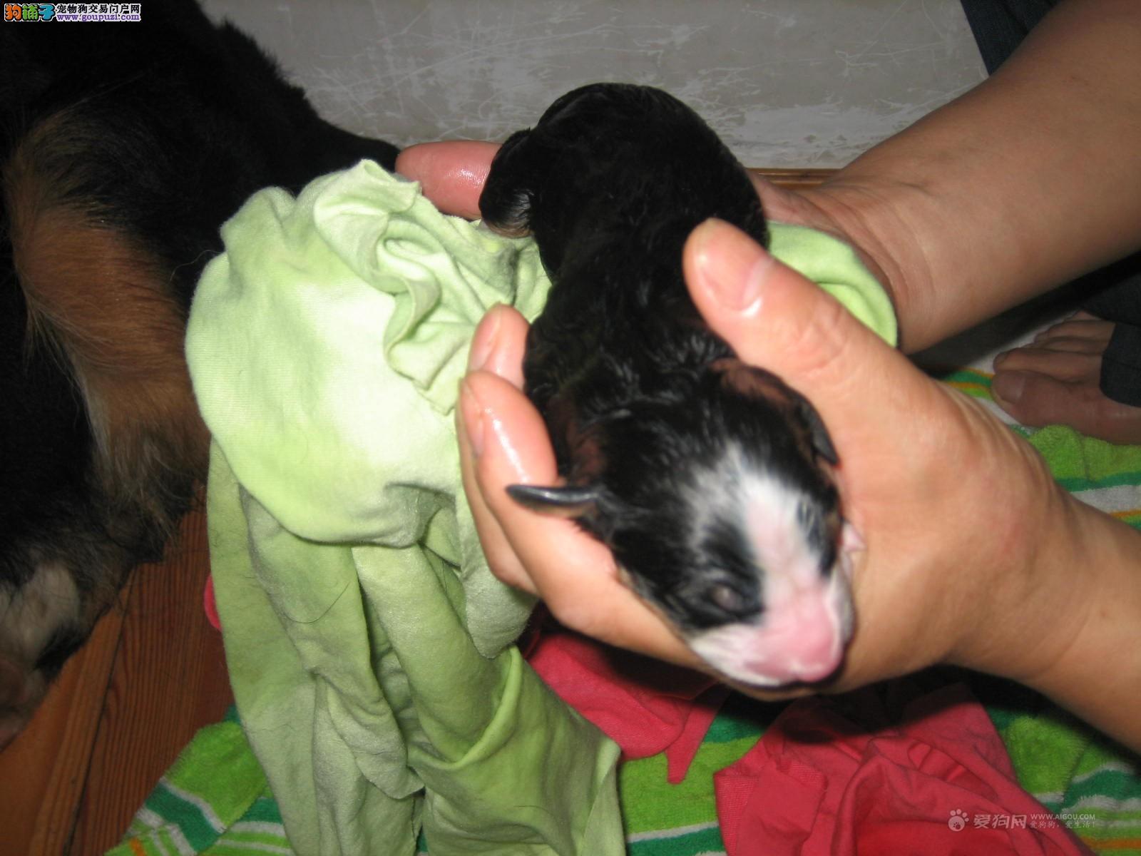 出售伯恩山幼犬,欢迎选购信誉第一,实物拍摄可见父母,购犬可签协议