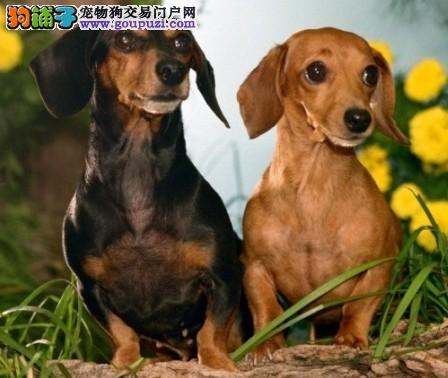 杭州出售纯种活泼、勇敢狩猎犬种腊肠犬