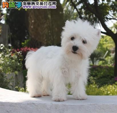 北京出售高品质赛级 西高地 幼犬公母,保纯保健康